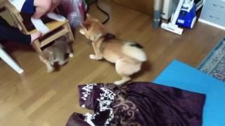 お兄ちゃんに反抗する子犬。 子犬の吠え方が可愛すぎて癒されます。