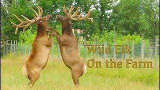 Wild Elk On the Farm