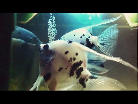 Angelfish Eating Their Eggs!
