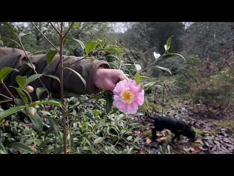 Camellia sasanqua at Caerhays - Part 3
