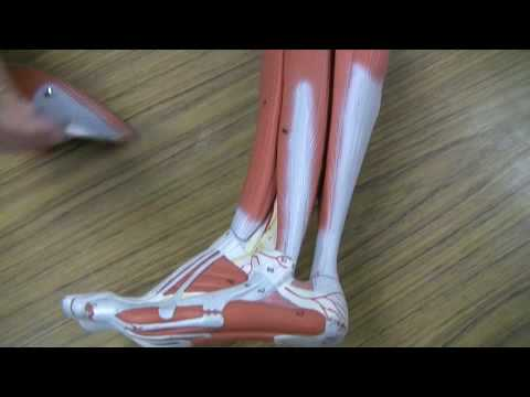Muscles of the Lower Leg - YouTube