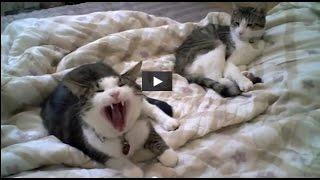 Кошки кричат как люди ! Очень смешно !