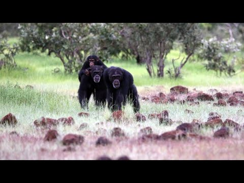 CARTA: The Role of Hunting in Anthropogeny: Jill Pruetz - Hunting By Savanna - Living Chimpanzees