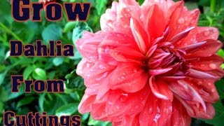 How to Grow Dahlia From Cuttings with Update / Gardening  tips in Hindi // Mammal Bonsai