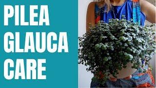 Pilea Glauca - Pilea Glauca care indoors