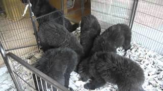 超大型犬のニューファンドランド。 子犬ちゃんの食事は約1分間(*^_^*) ...