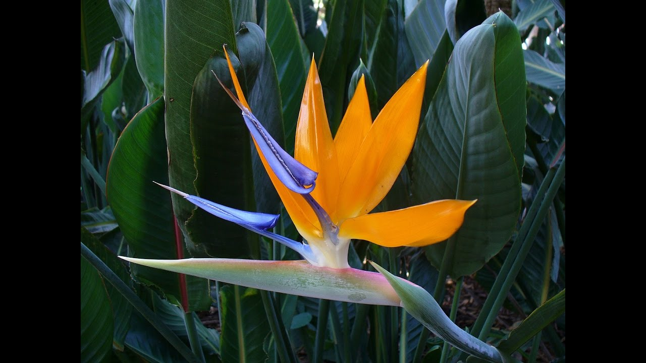 Amazing And Most Beautiful Birds Of Paradise Flowers Pictures Youtube