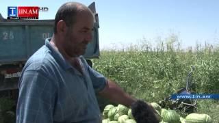 «Մեր ապրանքը դաշտերում ու շուկաներում դառնում է փալաս» գյուղացին չի կարողանում իրացնել ձմերուկը