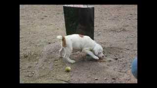 Dogo A / Amstaff Mix / Boerboel / English Staffordshire Bullterrier.
