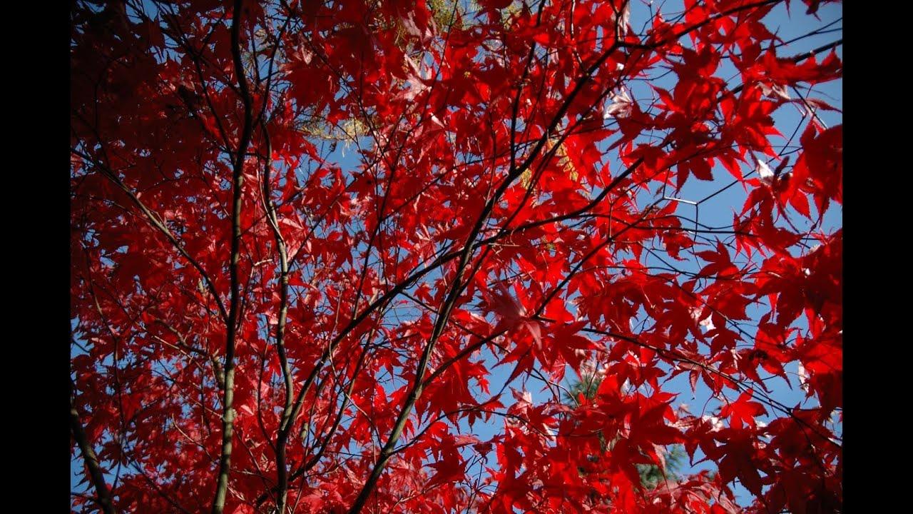 Falling Maple Leaves Wallpaper Acer Palmatum Bloodgood Purple Leaved Japanese Maple