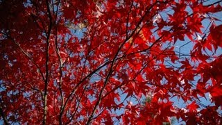 Acer palmatum 'Bloodgood' video
