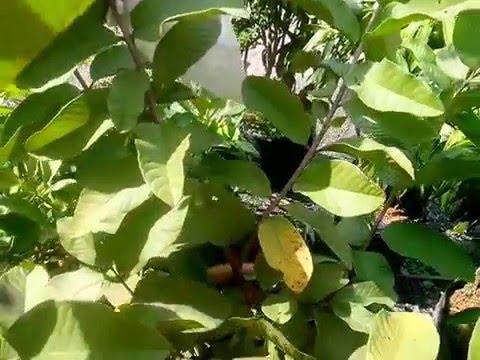 Cây ổi trồng chậu có trái
