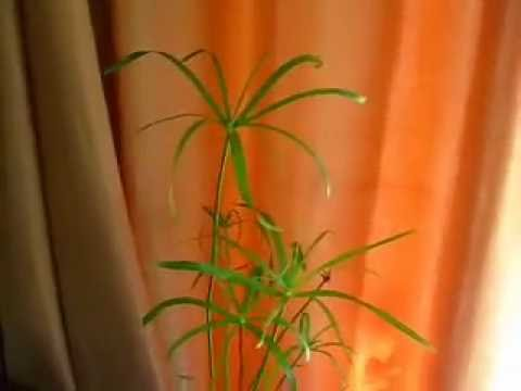 фото папирус растение