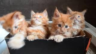 Забавные  котята мейн кун!