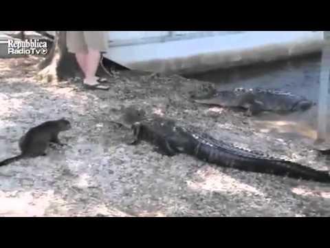 gatto catanese contro coccodrillo