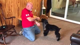 "Giant Schnauzer Puppy ""ace"" Prey Drive Demo Dog For Sale"