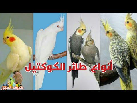 أسماء أنواع وطفرات طائر الكوكتيل الكروان Youtube