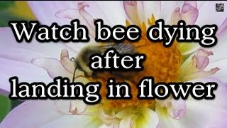 Watch bee dying after landing in flower (Fukushima Radiation?)