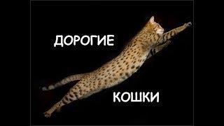 Дорогие кошки! Сколько стоят самые дорогие кошки
