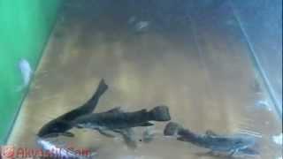 Аквариумные сомы - Золотистый сомик, Таракатум, Мистус полосатый. Аквариумные рыбки. Аквариумистика.