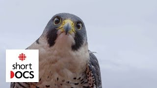 Two falcons are squeezed out of their nest by gentrification   Algo, Polly & Turcot thumbnail