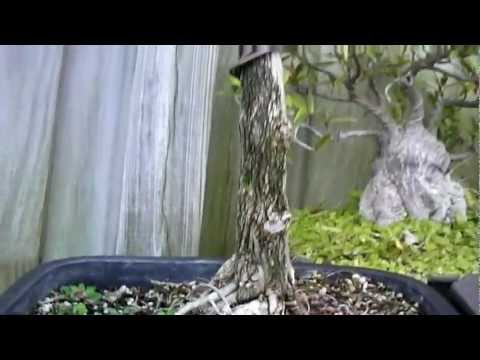 Olicata Tropical Bonsai - Works in Progress