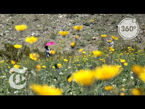 The Desert is Blooming | The Daily 360 | The New York Times