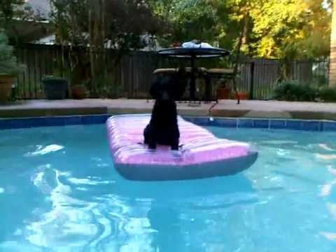 Curly Coated Retriever puppy swims