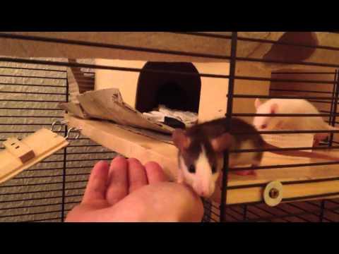 Baby Ratten entdecken ihre neue Röhre