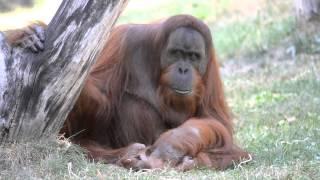 Sumatran Orangutan, Chuij (Budapest Zoo) 29.08.2012.