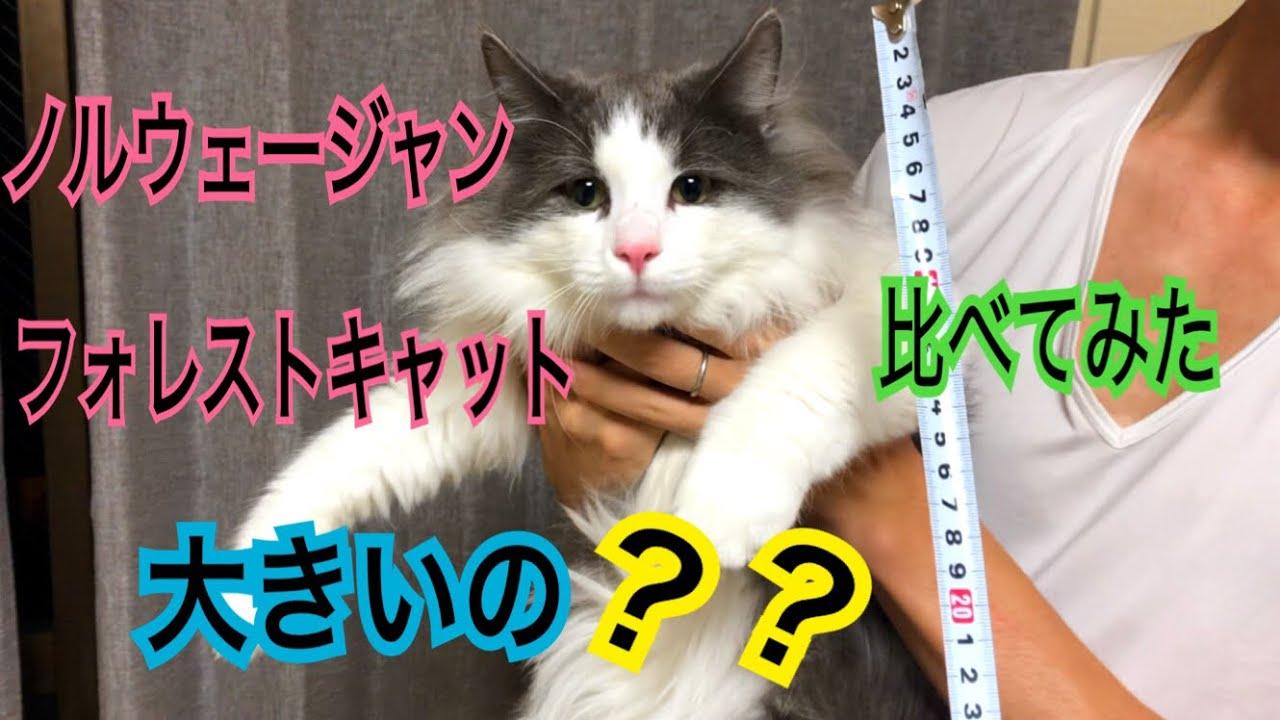 大型猫!ノルウェージャンフォレストキャットってどのくらいの大きさ?【ノルウェージャンフォレストキャット】Norwegian Forest Cat