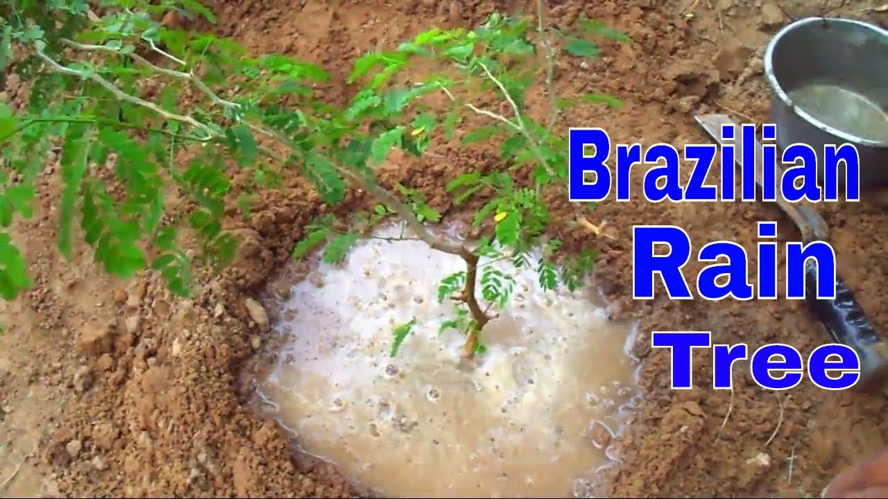 How To Grow Brazilian Rain Tree Best Tree For Bonsai Care Tips 23 Aug Mammal Bonsai Youtube