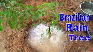 How to Grow Brazilian Rain Tree /Best tree for Bonsai /Care & Tips -23 Aug /Mammal Bonsai