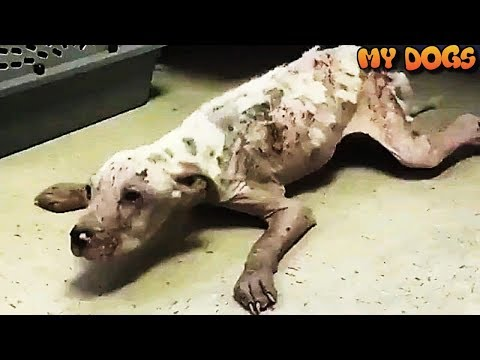 Dying Poor Puppy Survives The Night After Miracle Rescue at Shelter | An Incredible Transformation