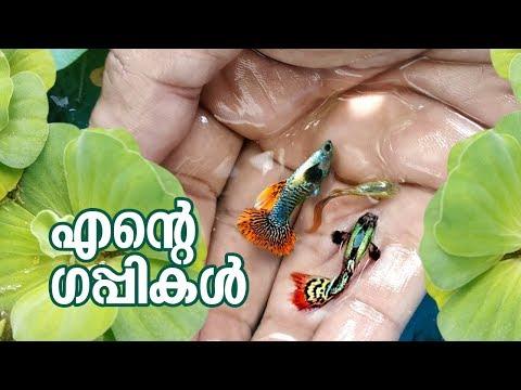 My guppy farm. Kerala Local Vlog #81