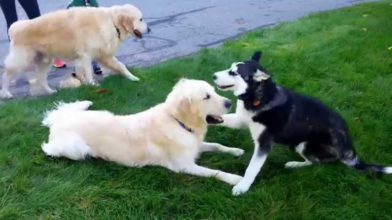 Cute Siberian Husky Puppy Plays With Two Golden Retriever Brothers