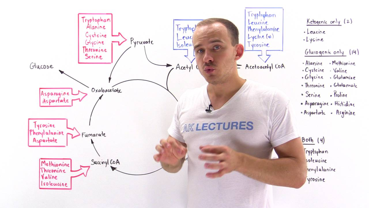 Introduction to glucogenic and ketogenic amino acids - YouTube