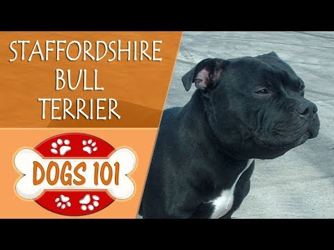 Dogs 101 - STAFFORDSHIRE BULL TERRIER - Top Dog Facts About the STAFFORDSHIRE BULL TERRIER
