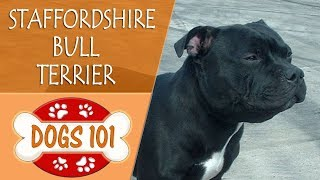Dogs 101  STAFFORDSHIRE BULL TERRIER  Top Dog Facts About the STAFFORDSHIRE BULL TERRIER