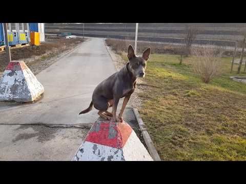 Paya - Kelpie Dog - Samsung Galaxy S8 4K Video Test