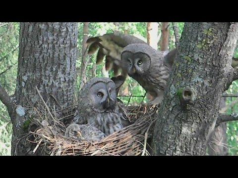 The great gray owl chick feed (Strix nebulosa) - wildlife - endangered animals