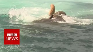 Elephant found swimming 16km out to sea - BBC News