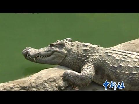 探访云南最大鳄鱼养殖场 / Visiting the largest crocodile farm in Yunnan