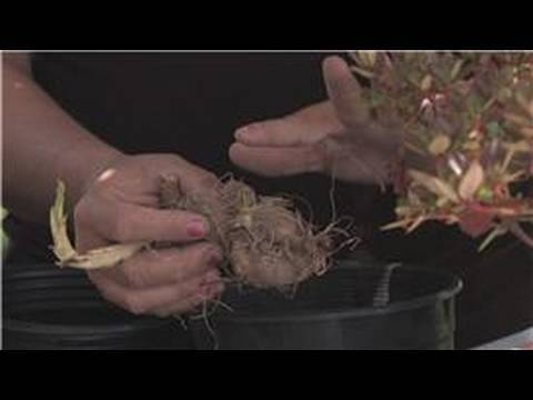 Flower Gardening How To Plant Dahlia Bulbs