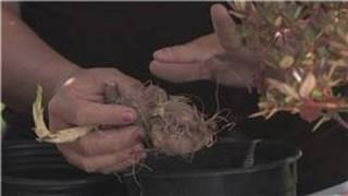 Flower Gardening : How to Plant Dahlia Bulbs
