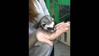 хорек Ferret feed кормление корм ferretism