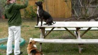 Table Training Pit Bull Terrier And Welsh Corgi