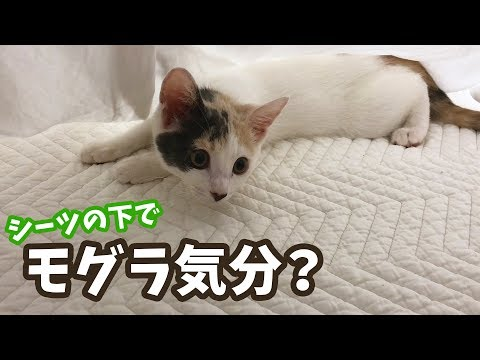 シーツの下でかくれんぼする子猫が可愛い