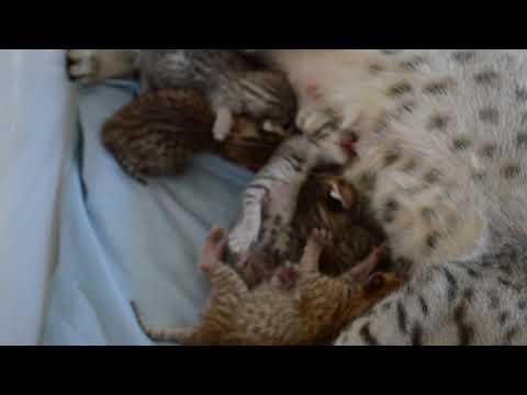 Peekaboo's Ocicat kittens DOB 25.12.17