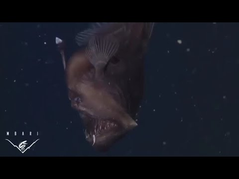 INEDITO Filman por primera vez al Pez Diablo Negro del mar